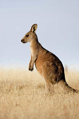 Eastern Grey Kangaroo Or Forester Poster