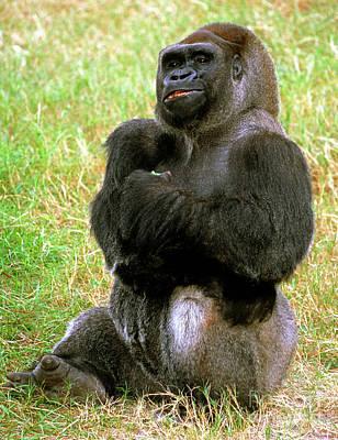 Western Lowland Gorilla Poster by Millard H. Sharp