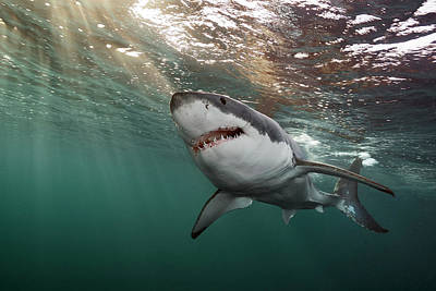 A Great White Shark Swims In Waters Poster by Brian Skerry