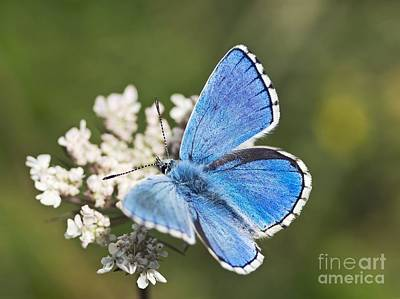 Adonis Blue Butterfly Poster by Adrian Bicker