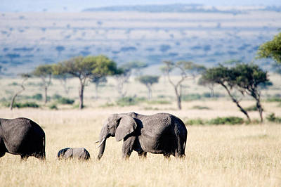 African Elephant Loxodonta Africana Poster by Panoramic Images