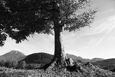 Alpine Tree Poster by Falko Follert