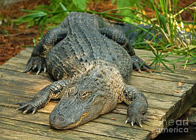 American Alligator Poster by Millard H. Sharp