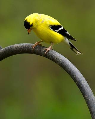 American Goldfinch Poster by Robert L Jackson