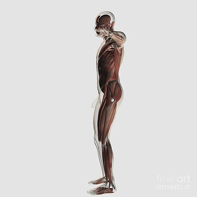 Anatomy Of Male Muscular System, Side Poster