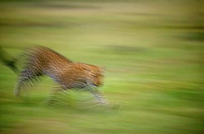 Arabian Leopard (panthera Pardus) Poster by Photostock-israel