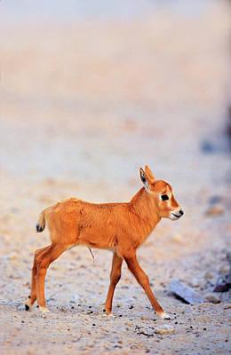 Arabian Oryx (oryx Leucoryx Poster by Martin Zwick