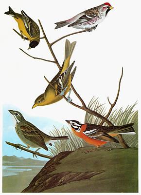 Audubon Songbirds Poster by Granger