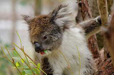 Australia, Perth, Yanchep National Park Poster by Cindy Miller Hopkins