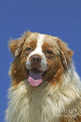 Australian Shepherd Dog Poster by Jean-Michel Labat