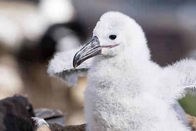 Black-browed Albatross (thalassarche Poster by Martin Zwick