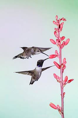 Black-chinned Hummingbird (archilochus Poster