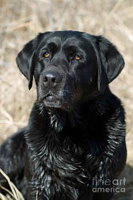 Black Labrador Retriever Poster by Linda Freshwaters Arndt