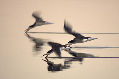 Poster featuring the photograph 3 Black Skimmers  382z3059 by David Orias