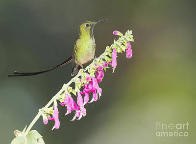 Poster featuring the photograph Black-tailed Train Bearer Hummingbird by Dan Suzio
