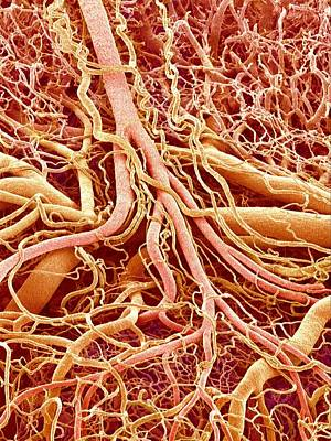 Blood Vessels Of A Lymph Node Poster