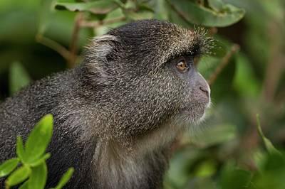 Blue Monkey Cercopithecus Mitis Poster by Photostock-israel