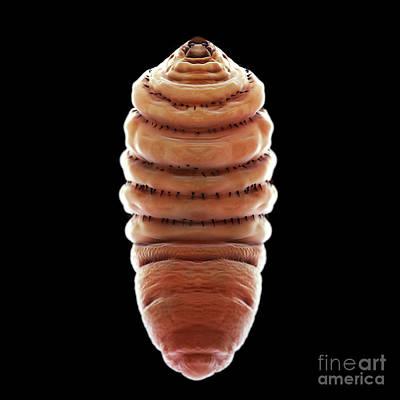 Bot Fly Larva Poster