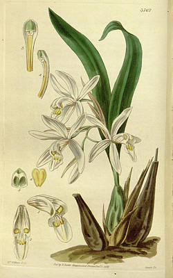 Botanical Print By Augusta Innes  Withers Née Baker Poster by Quint Lox