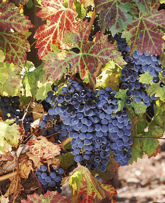 Cabernet Sauvignon Grapes In Vineyard Poster