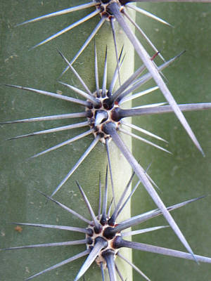 Poster featuring the photograph Cactus Thorns by Deb Halloran