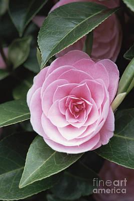 Camellia X Williamsii E G Waterhouse Poster by Maxine Adcock