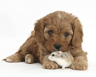 Cavapoo Puppy And Roborovski Hamster Poster by Mark Taylor