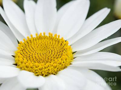 Chamomile Anthemis Punctata Cupaniana Poster by Adrian Bicker