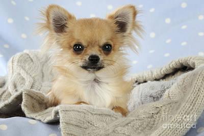 Chihuahua Dog Poster by John Daniels