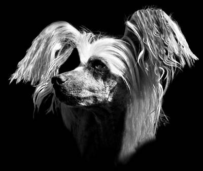Chinese Crested Hairless Poster by Diana Angstadt