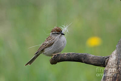 Chipping Sparrow Poster