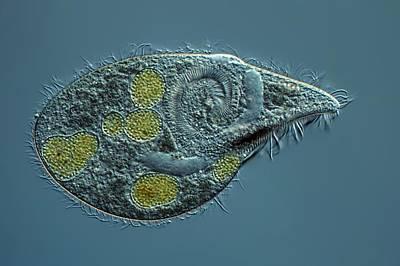 Ciliate Protozoan Poster by Frank Fox