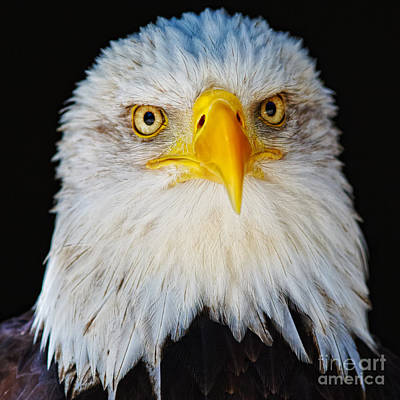 Closeup Portrait Of An American Bald Eagle Poster by Nick  Biemans