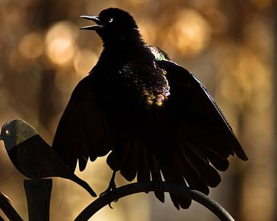 Common Grackle Poster