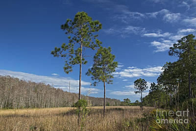 Corkscrew Swamp Poster