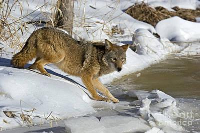 Coyote Poster by Linda Freshwaters Arndt