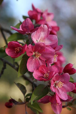 Poster featuring the photograph Crabapple Blossoms by Vadim Levin