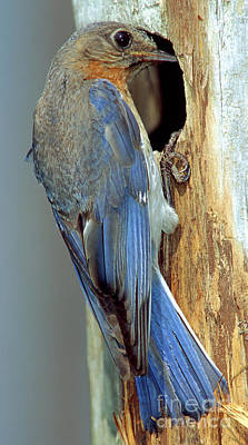Eastern Bluebird Poster by Millard H. Sharp