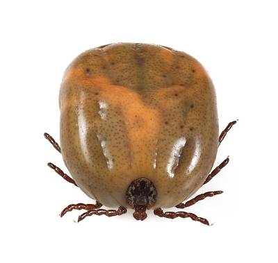 Engorged Ixodes Tick Poster by Science Photo Library