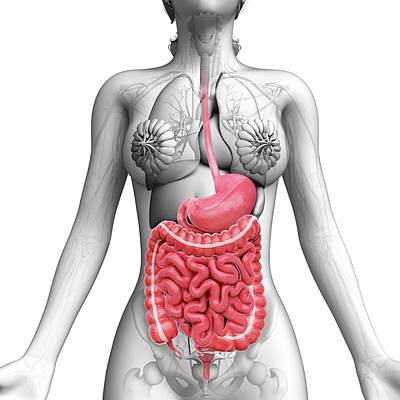 Female Anatomy Poster by Pixologicstudio
