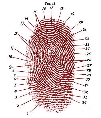 Fingerprint Diagram, 1940 Poster by Science Source