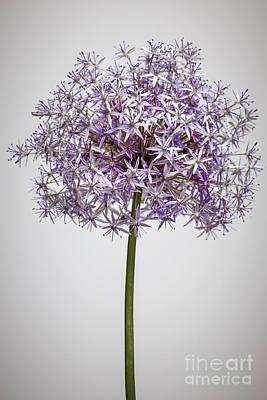 Flowering Onion Flower Poster by Elena Elisseeva