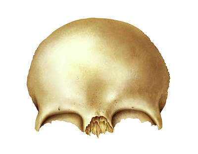 Frontal Bone Poster by Asklepios Medical Atlas
