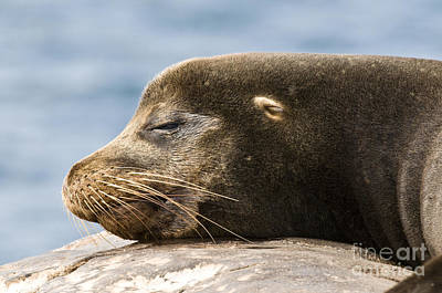 Galapagos Sea Lion Poster by William H. Mullins