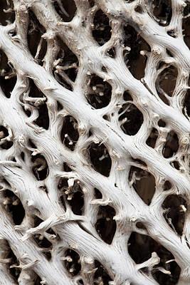 Giant Loebelia (lobelia Rhynchopetalum Poster