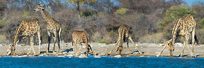 Giraffes Giraffa Camelopardalis Poster by Panoramic Images