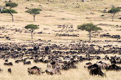 Great Migration Of Wildebeests, Masai Poster by Panoramic Images