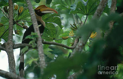 Great Pied Hornbill Poster by Art Wolfe
