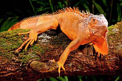 Green Iguana, Iguana Iguana, Native Poster