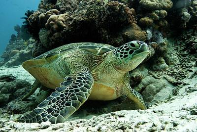 Green Sea Turtle Poster by Louise Murray